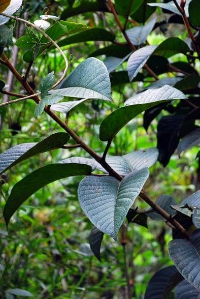 Ficus tequendamae