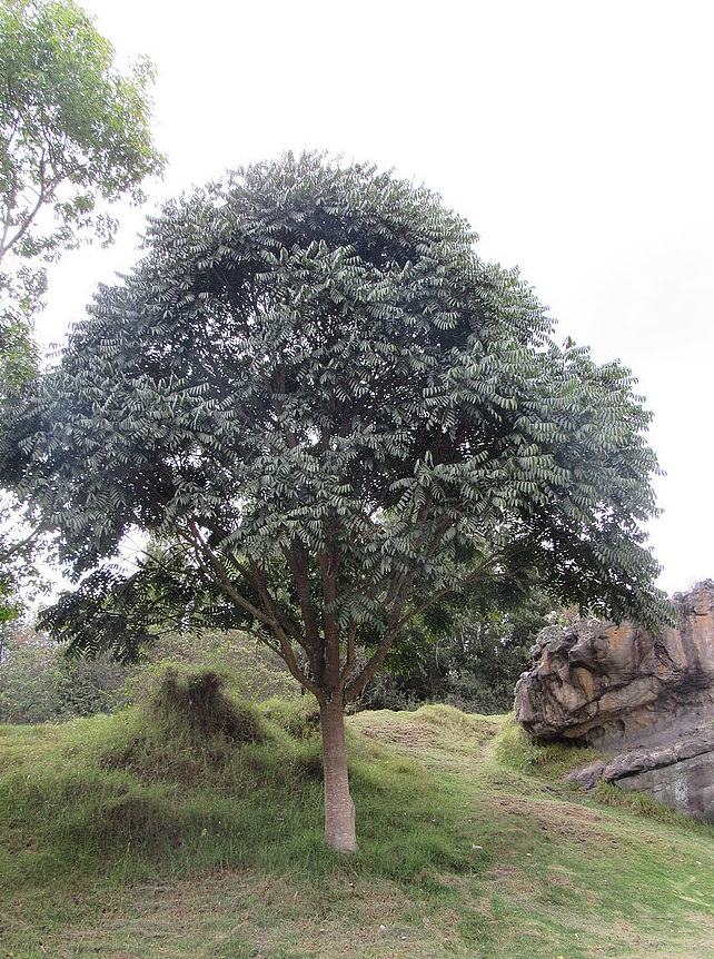 Cedro, roble, sauco y chicalá son algunas de las especies nativas en el parque.
