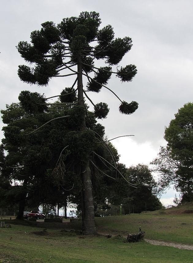 El 70 % del arbolado corresponde a especies exóticas.