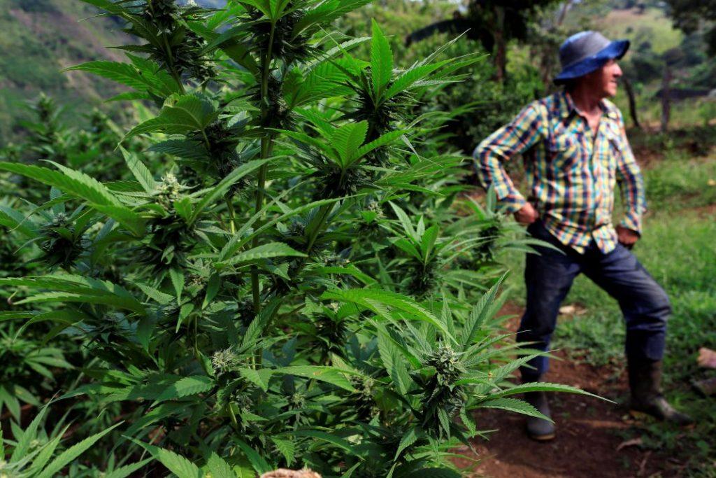 Romairo Aguirre está listo para arrancar las mil 500 plantas de mariguana que cultiva en su finca en las montañas del Cauca. Fuente: Reuters
