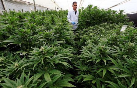 Marcelo Antunes de Siqueira, director de operaciones de Pharmacielo, revisa un cultivo de marihuna en Rionegro, Colombia el 2 de marzo de 2018. REUTERS/Jaime Saldarriaga