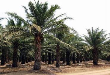 Noruega, primer país en prohibir el aceite de palma que causa la deforestación