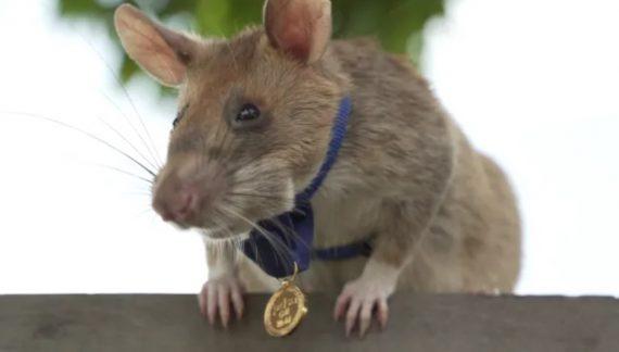 Condecoran con medalla a rata detectora de minas en Camboya