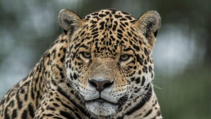 Colombia inicia actualización de la lista roja de mamíferos amenazados