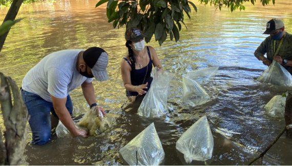 Liberan 300 mil alevinos en la cuenca alta del río Magdalena
