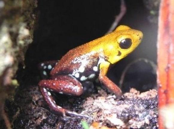 Descubren nueva especie de rana en Supatá y San Francisco, Cundinamarca